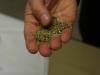 anice verde di Castignano